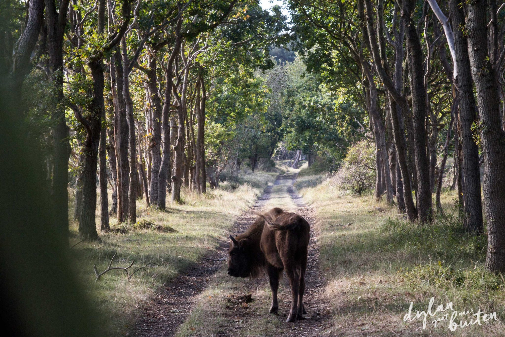 Natuurfotografie van Europese bizons