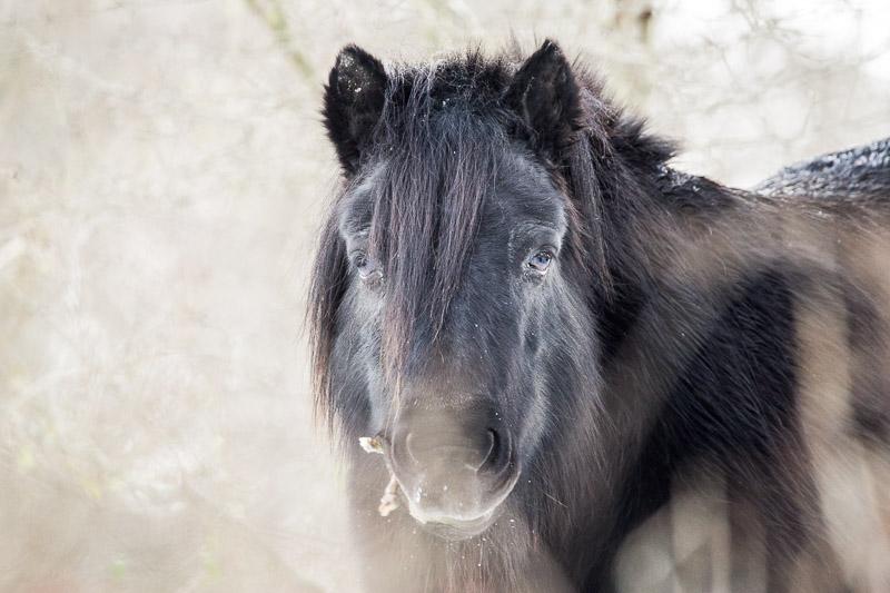 Wilde paarde in Nederland