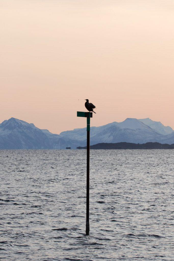 Vogeltour Lofoten Noorwegen