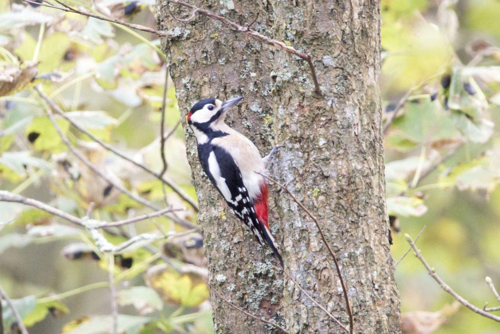 Vogels herkennen: grote bonte specht