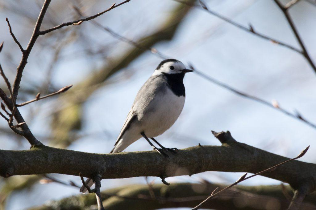 Vogels herkennen: witte kwikstaart
