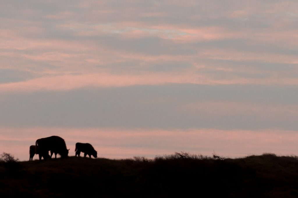 Wisenten in Kraansvlak met zonsopkomst